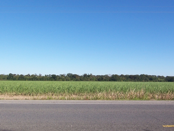 Thats Sugarcane One Of Our Main Crops Its Been A While Since Id Down In The Fall When They Burn Fields Cane Is Like Mint That It Sends Out