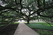 Author photo. Century Tree, Texas A & M Campus, College Station, Texas.  Photo by Ed Schipul / Flickr.